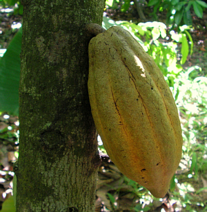 cocoa pod on tree, St Augustine campus