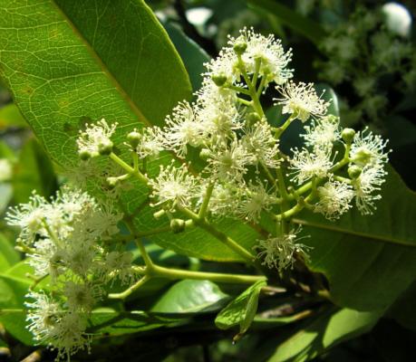 pimento blossom
