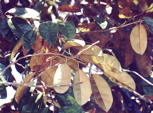 leaves showing 2 colours